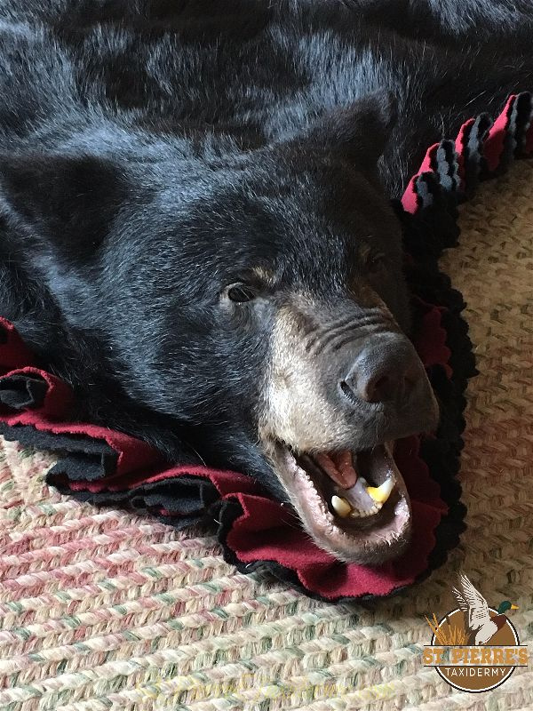 Black Bear Rug Mount - Gamehead Taxidermy
