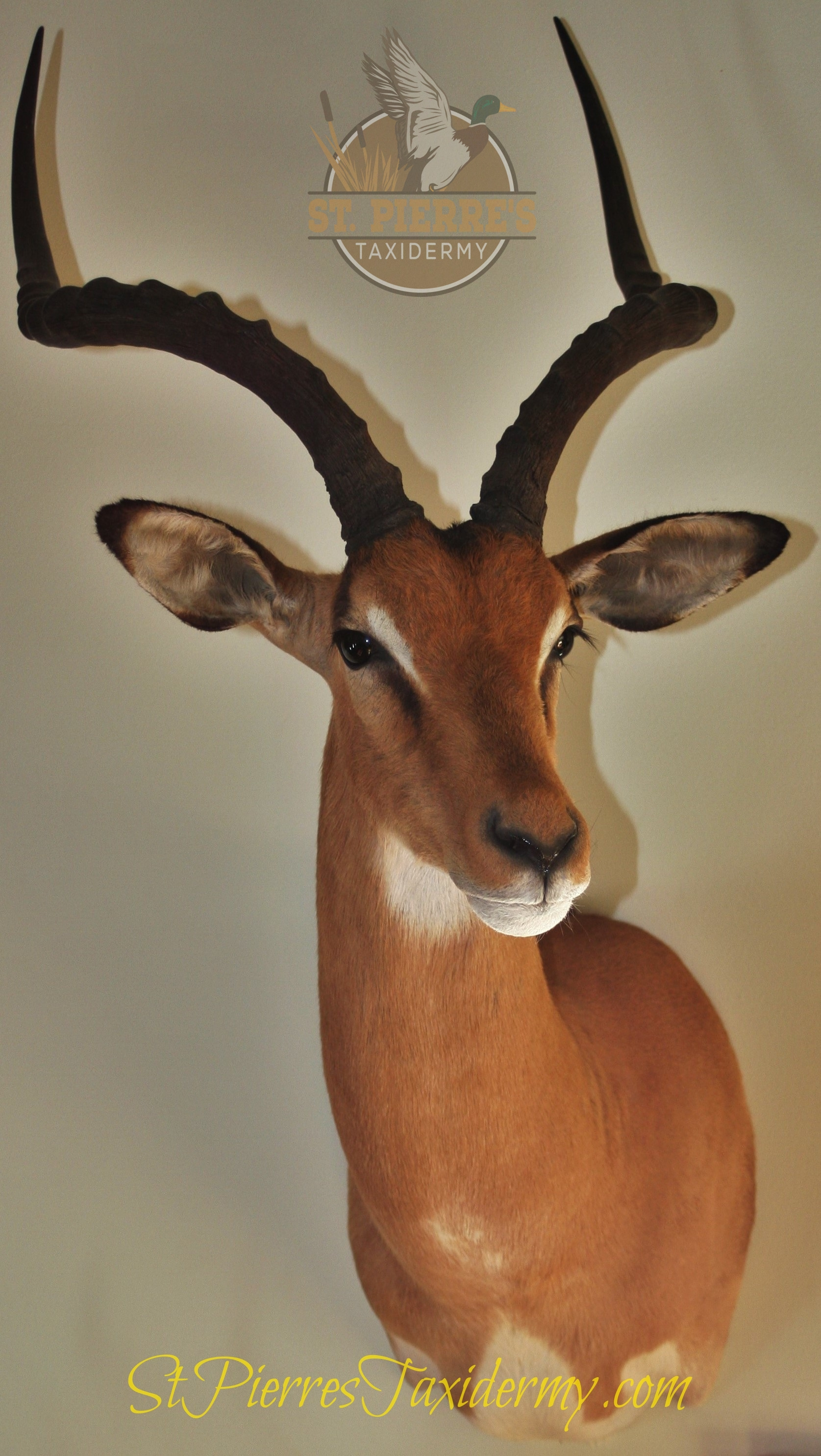 Impala Mount - Gamehead Taxidermy