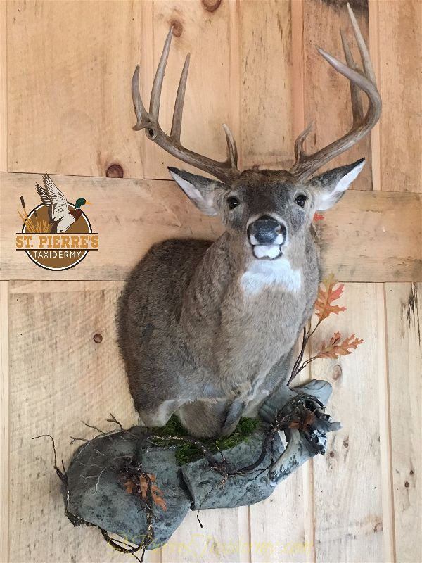 Custom Whitetail Deer Mount - Gamehead Taxidermy