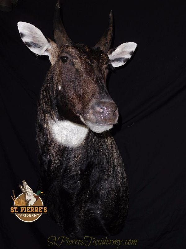 Nilgai Mount - Gamehead Taxidermy