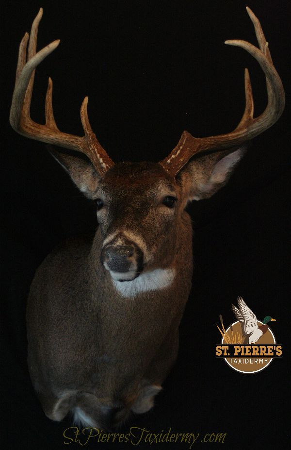 Whitetail Deer Mount - Gamehead Taxidermy